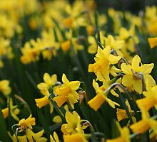 Little Yellow Daffodils by Joel Bramley