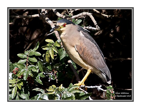 Night  Heron by Warren. A. Williams