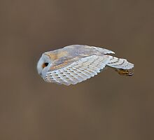 BARN OWL HUNTING by Trevsnature