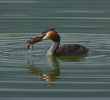 Great Crested Grebe with Crayfish by Trevsnature