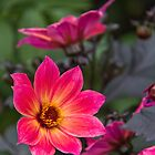 Pink Dahlia by vivsworld