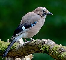Eurasian Jay - III by Peter Wiggerman