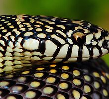 Apalachicola (Goins) King Snake by Barnaby Murphy