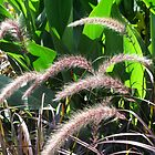Fountain grass by Mike Shell