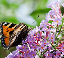 Small Tortoiseshell by Mike Church