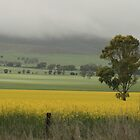 canola fields, near Auburn, South Australia. by elphonline