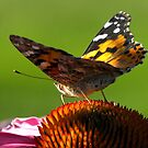 Under her Wings ~ Painted Lady Butterfly by Jan  Tribe
