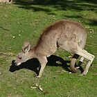Kangaroo 3 by Fike2308