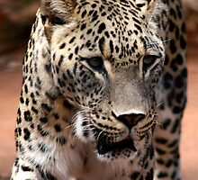 Persian Leopard by jwwallace
