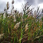 Prairie Grasses by debidabble