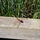 female ruddy darter dragonfly by brucemlong