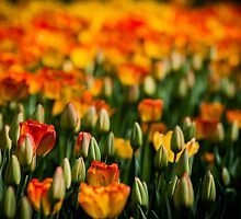 tulips (yellow and oranges) by pdumont