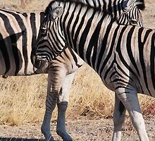 Zebras by BeckyMP