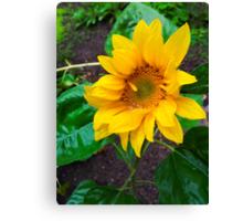 Moist sunflower Canvas Print