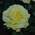 Yellow rose  by santinopani