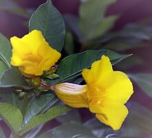 Yellow trumpet flowers by ♥⊱ B. Randi Bailey