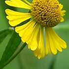 Swamp Sunflower by lorilee