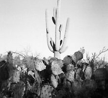 Saguaro Cactus Holga Photo by strayfoto