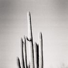 Saguaro Holga Photo by strayfoto