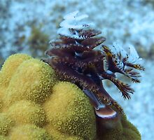 Tiger Striped Christmas Tree Worm on Coral Reef by Amy McDaniel