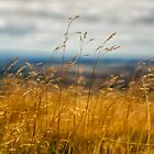 Golden Grass by Maybrick
