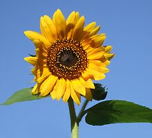 Pretty and Bright Yellow Sunflower Blossom 25 by JaguarJulie