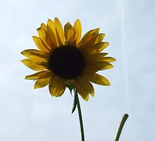 Pretty and Bright Yellow Sunflower Blossom 36 by JaguarJulie