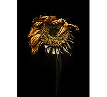 A sunflower feeling under the weather Photographic Print