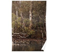 Eucalyptus trees, Standing Strong By Lorraine McCarthy Poster