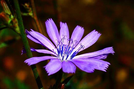Illinois Prairie Flower by Adam Kuehl