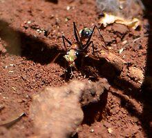 Jack Jumper Ant by Bami