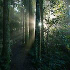 Sunflare through forest. Mt Cordeaux. Queensland. by Ian Hallmond