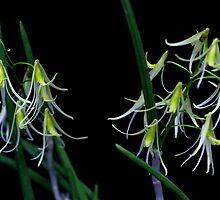 Dockrillia racemosa by andrachne