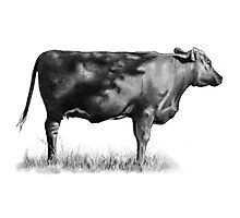 Cow In Sunshine Photographic Print