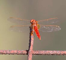 Scarlet Darter (male) by Richard Greenwood