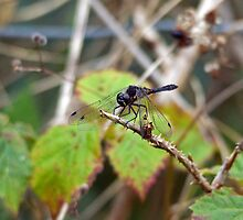 Black Darter by VoluntaryRanger