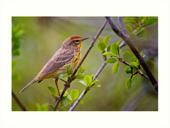 Palm Warbler by Michael Cummings
