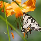 Lily and butterfly by Dennis Cheeseman