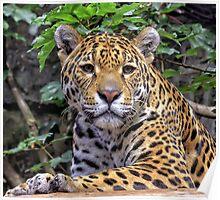 Jaguar Edinburgh Zoo Poster