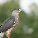 Neighborhood Cooper's Hawk by yakkphat