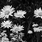 Daisies in Black & White by Jan  Tribe