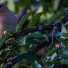 Morning waxwing in the orchard by Chris Kiez