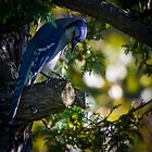 Morning Blue Jay by Chris Kiez