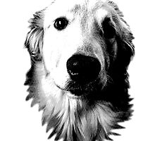 Who Me? Funny Dog Expressions. Golden Retriever Images. by digitaleclectic