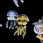 Jellies by PFPhotography
