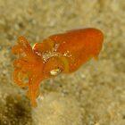 Southern Bottletail Squid - Sepiadarium austrinum by Andrew Trevor-Jones