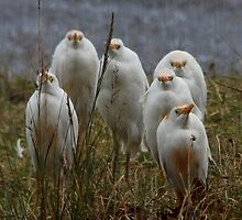 Patience has its virtues -  Cattle Egrets Ngorongoro Crater Tanzania by john  Lenagan