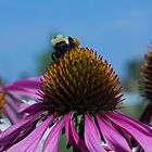 Up Close Bee On Purple Coneflowers by Tina Hailey