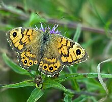 Wall Brown Butterfly by Jamie  Green