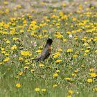 American Robin in a Field of Dandelions by rhamm